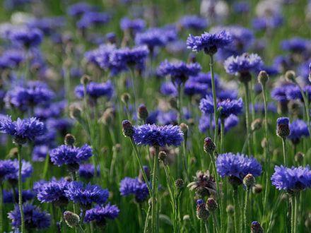 Albastrelele (Centaurea cyanus)