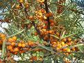 Catina de rau (Hippophae rhamnoides)