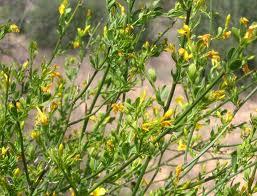 Iasomie (Jasminum fruticans)