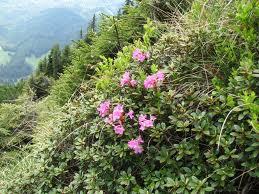 Bujor de munte (Rhododendron kotschyi)