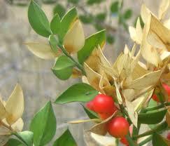 Ghimpe (Ruscus aculeatus)