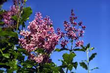 Liliac Transilvanean (Syringa josikaea)