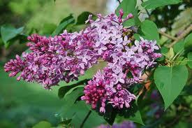 Liliacul (Syringa vulgaris)