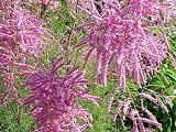 Catina rosie (Tamarix ramosissima)