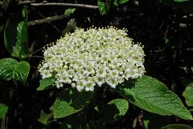 Darmoxul (Viburnum lantana)