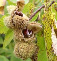Castanul comestibil (Castanea sativa )