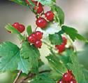 Coacazul de munte (Ribes alpinus)