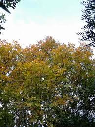 Frasinul pufos (Fraxinus pallisae)